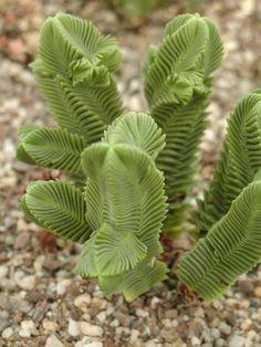 Crassula Pyramidalis 'Giant form'