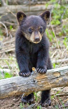Bear Images, Bear Pictures, Animal Pictures, Cute Baby Animals, Animals And Pets, Wild Animals, Black Bear Cub, Bear Cubs, Grizzly Bears
