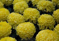 Regular Incurve Chrysanthemum   Bola de Ora Irregular Incurve Chrysanthemum © 2013 Patty Hankins