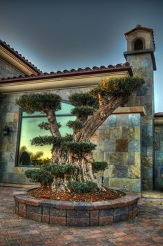 Olive tree arbors and trees on pinterest for How to make an olive tree into a bonsai