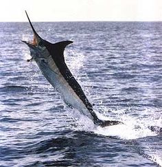 Google Image Result for http://www.madeiragamefish.com/graphics/jumping.jpg