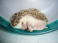 Cutest pictures of cute hedgehogs - Too Cute To Handle