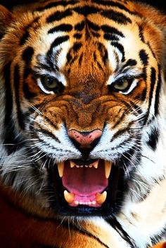Tiger -- amazing quality image. Really get a sense of the grace, power and fierceness of the creature.
