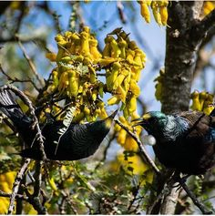Two Tui enjoying the Kowhai flowers - 📸✨ New Zealand, Birds, Tags, Flowers, Instagram, Bird, Florals, Flower, Mailing Labels