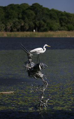 A Great White Egret perches atop a metal sculpture of a bird at Boyd Hill Nature Preserve in St. Petersburg.