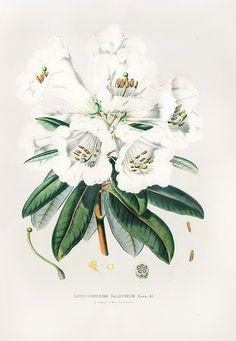 Rhododendrum Dalhousiae by Louis Van Houtte 1845