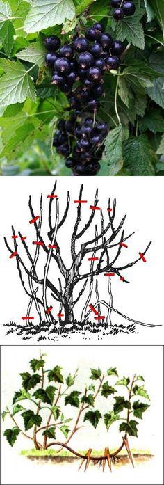Об омоложении кустов смородины — 6 соток