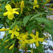 Jasminum Plant - Humile Revolutum