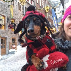 "Crusoe Dachshund on Twitter: ""I decided to tag along with Mum & Dad on their anniversary weeknd to Quebec City because hey, wut's an anniversary without ME?! #quebeccity https://t.co/TqQ4oIcSbJ"""