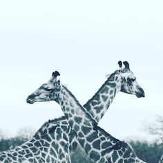 Reposting @travellobsters: love giraffes such a great animal thanks for sharing @emsphotography95 . . . .  #africa #african #love #africanstyle #picoftheday #photography #travel #travelgram #traveling #travelphotography #travelling #traveller #travelblogger #travels #traveler #travelpic #travellife #instatravel #wanderlust #nature #travelbug #travelers #trip #instagood #traveladdict #photooftheday #travelworld #instagram #instadaily #like4like