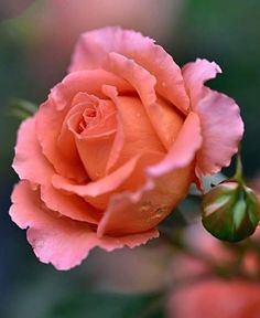 Beautiful Rose Flowers, Beautiful Moon, Romantic Roses, My Flower, Flower Power, Beautiful Flowers, Pink Roses, Pink Flowers, Special Flowers