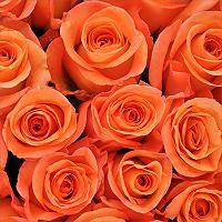 Roses - Orange - 50 Stems - Sam's Club - $66.98