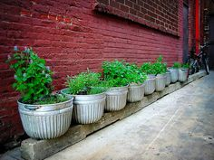 galvanized containers from Farm Supply = containers for urban herb garden