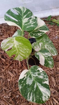 BEAUTIFUL RARE WHITE VARIEGATED MONSTERA DELICIOSA SPLIT LEAF PHILODENDRON !