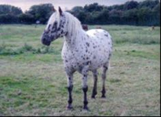 fenjay flyer stallion - Google Search