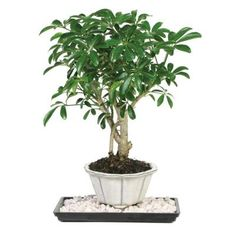 Brussel's Bonsai Dwarf Hawaiian Umbrella Tree (Indoor)-DT-6019ARB - The Home Depot $25 each