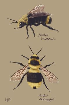 """tinylongwing: """"Two western bumble bee species for The Institute for Bird Populations' Sierra Nevada meadows research: Vosnesensky Bumble Bee and Black-tailed Bumble Bee. """""""