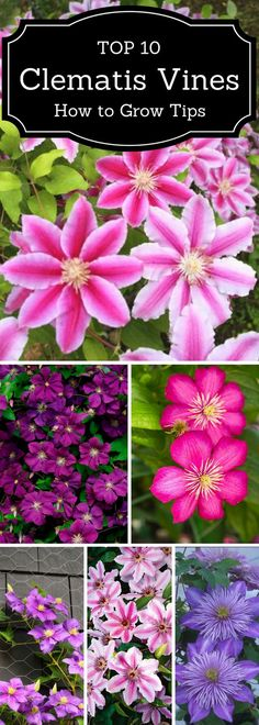 Tips on Growing Gorgeous Clematis Vines Top 10 tips on growing gorgeous clematis vines.Top 10 tips on growing gorgeous clematis vines. Clematis Varieties, Backyard Ideas For Small Yards, Patio Ideas, Large Backyard, Small Patio, Porch Ideas, Clematis Vine, Clematis Flower, Climbing Vines