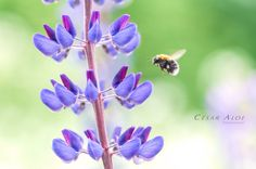 Macro photography,instant download art,bee picture,plant photo,nature image,purple wall decor,lavender home decor,garden decor,fine wall art by CesarAloePhotography on Etsy