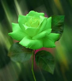 Green Rose: Calm, Fertility, Well Being Occasion: Congratulations, New Baby, Get Well, Easter/Spring, St. Patrick's Day