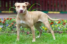 The American Pitbull Terrier often gets a bad rap for being an aggressive breed…