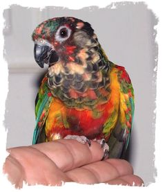"My ""Pied"" Painted Conure Hen, she gets more and more colorful every year ... she was normally colored for the first 4 or 5 years then slowly started having these off color feathers show up ... ( Progressive Pied ? ) she is now about 14 or 15 years old ... no health problems ... has laid many times but her eggs are never fertile ... I have tried her with 2 different males ... sweetest little girl ... Love her to bits !!!"