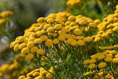 Blue Tansy - Tanacetum Annuum or Blue Tansy Essential Oil, Essential Oils, Pretty Flowers, White Flowers, Blooming Plants, Black Eyed Susan, Growing Plants, Botanical Gardens, Herbs