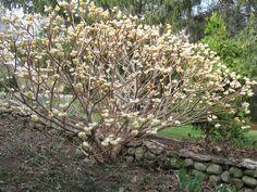 Edgeworthia chrysantha, Rice Paper Bush