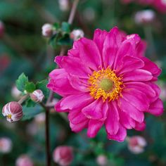 'Party Dress' Anemone - Best Pink Flowers from bhg:  big double pink blooms into autumn;  full sun to part share/well -drained;  grows 36 inches tall;  zone 4-8
