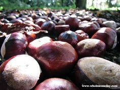 Conkers everywhere