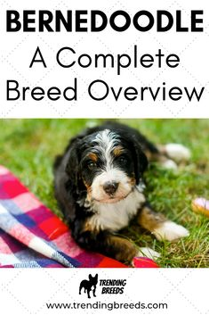 Adding a Bernedoodle to your family or just to learn more about the breed? We cover it all: Care, Exercise, Grooming, Personality, Temperament, and more.