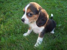 Beaglier puppies (Beagle x Cavalier King Charles Spaniel)