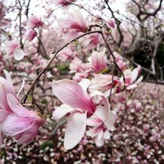 Gorgeous pink flowers blooming on a japanese magnolia tree.