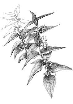 Vincetoxicum hirundinaria. Ilustradora: A. Cristina Losa http://herbanova.es/ilustraciones/
