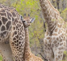 A baby South African Giraffe seems to smile. By Hugh Mackintosh African Giraffe, Happy Baby, Giraffes, Babys, Fur, Smile, Sweet, Photography, Animals