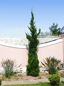 Juniperus chinensis torulosa, Caiazuka, Caizuca, Cipreste-kaizuka, Junípero-chinês, Kaiazuca