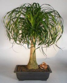 Indoor Bonsai Trees The Most Striking Feature Of Ponytail Palm Is Swollen Base Trunk Texture Looks And Feels Scaly Like