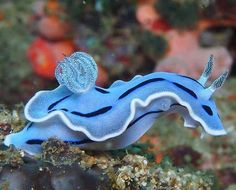 Blue Sea Slug, sea life, animals, ocean, ocean life, aquatic animals, fish, fishes, marine biology, water, under water life #sealife #marine