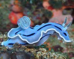 Blue Sea Slug, sea life, animals, ocean, ocean life, aquatic animals, fish, fishes, marine biology, water, under water life #sealife #marine