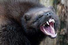 A wolverine makes its first public appearance at the Animal Park of Sainte-Croix in Rhodes, France, on January 28, 2016.