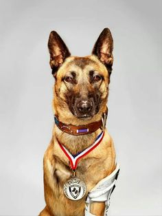 This dog took 4 rounds from an AK-47. He is now a three legged retired military working dog. He has a prosthetic leg now from protecting troops lives. Bless his heart.