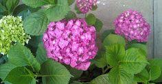 Es una de nuestras plantas preferidas por su color, su delicadeza, belleza…