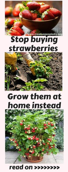 Stop buying strawberries. Here is a brilliant way to grow them at home instead !!! (1)