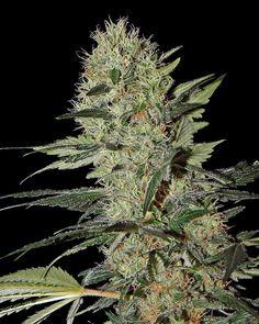 Exodus Cheese Auto CBD is a CBD-rich, auto-flowering version of this famous marijuana strain. Its genetics comprise Indica, Sativa and cannabis Weed Bong, Growing Weed, Marijuana Plants, Weed Plants, Short Plants, Cancer Cure, Ganja, Medical Marijuana, Seeds