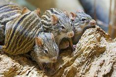 animals-animals-animals:African Striped Mice (by Tambako the Jaguar)