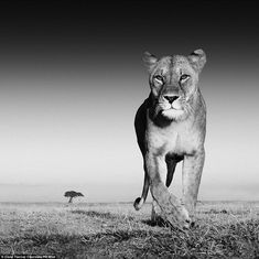 Scary: Scots wildlife photographer David Yarrow even escaped an up close and personal meeting with a lioness on the prairie during his globa...