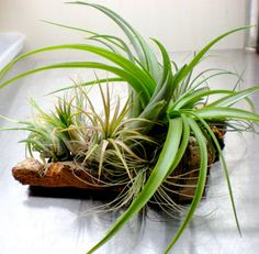Living Wall Art Air Plants on Sustainable Virgin by Plantzilla, $38.00