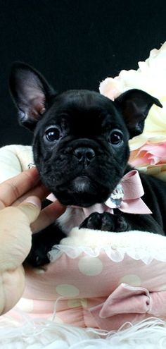 Adorable French Bulldog Puppy