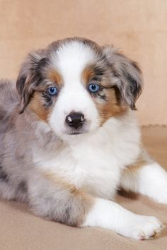 Awe how adorable a pet Australian shepherd looking at yo!❤️❤️❤️