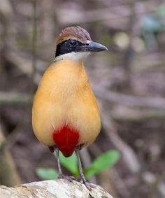 Beautiful Mangrove Pitta Bird